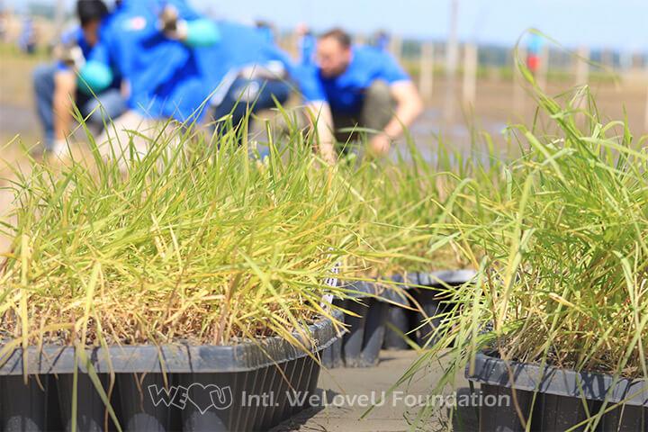 Marsh grass plugs WeLoveU Foundation